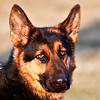 A few shots of a beautiful German Shepard : These are some of my favorite dog shots. . .