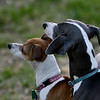 Little Greyhounds . . . :